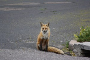 Foxes in the 'Hood