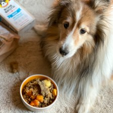 Bella the Sheltie tasting her meal