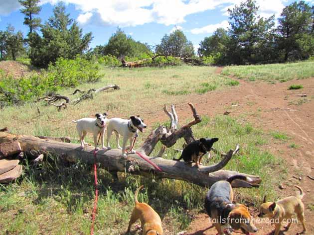 Minnie, Mick & Romeo on a favorite log near Durango.