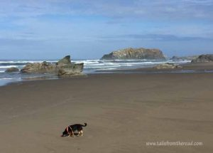 Romeo on an Oregon beach. It's legal to have dogs off leash on the State Beaches as long as the dogs are not harassing animals or people.