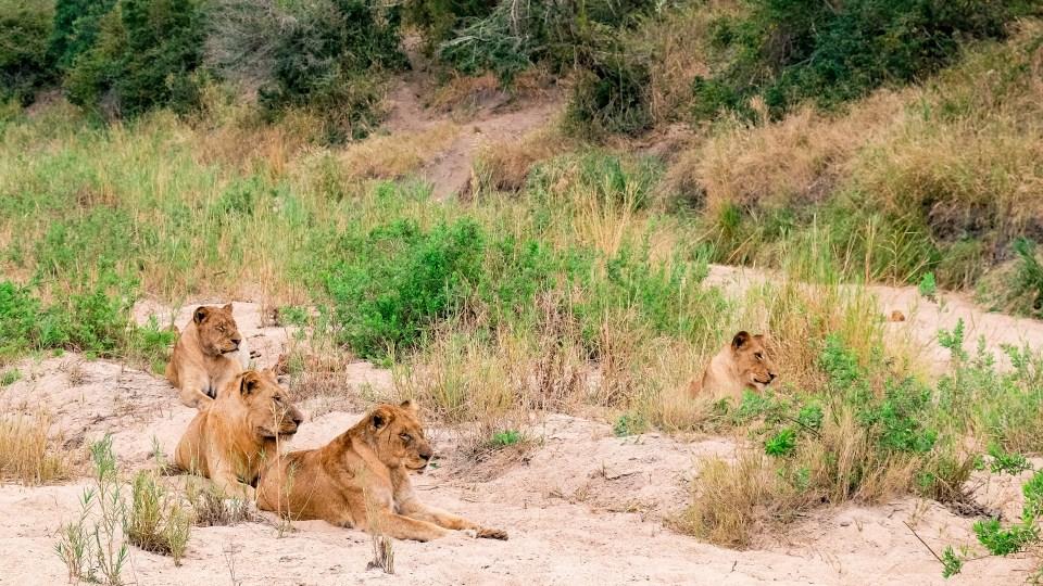 lions kruger park