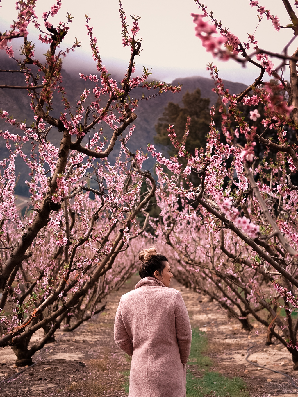 Cherry Blossoms Franschhoek