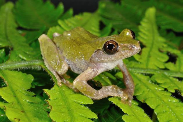 艾氏樹蛙 – 太平生態圖鑑