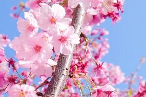 scenery-flower-20150328-03