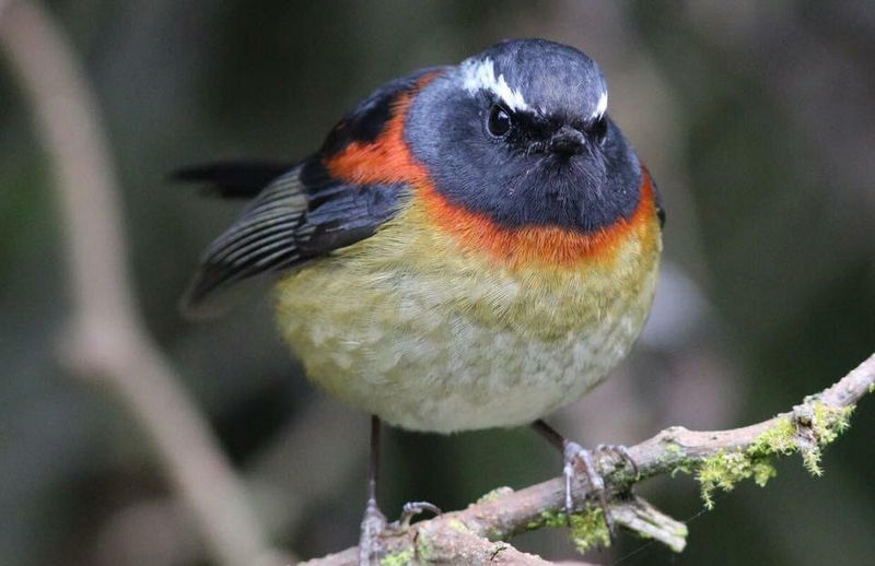 Taiwan-Scene-Birdwatching-collared-bush-robin