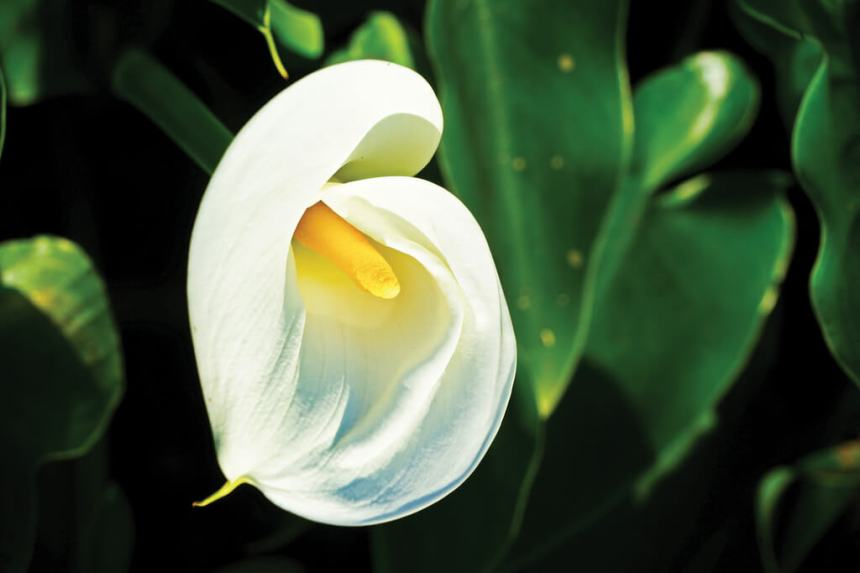 Flower-Viewing-in-Taipei-Yangmingshan-calla-lilly-festival.jpg
