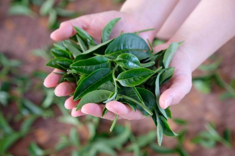 The fresh tea leaves.