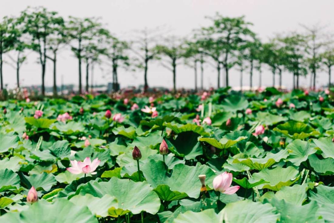 Baihe, the town of lotus in Tainan.