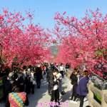 泰安派出所櫻花季2018更新~預計2/24左右櫻花季開始花況達最高峰!