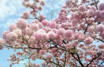 2019 02 14 180347 - 洋紅風鈴木盛開爆發中 花團錦簇宛如粉紅棉花球 竹山紫南宮