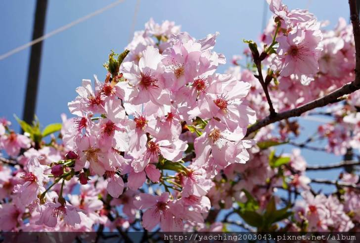 2019 03 05 095731 - 台中烏日 溪尾櫻花林,櫻花季開跑囉,一同感受免費的粉色浪漫