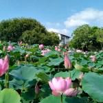 台中市區欣賞盛開荷花池,大片綠地小橋魚池,大樹盪鞦韆、翹翹板,停車方便,台中親子免費景點