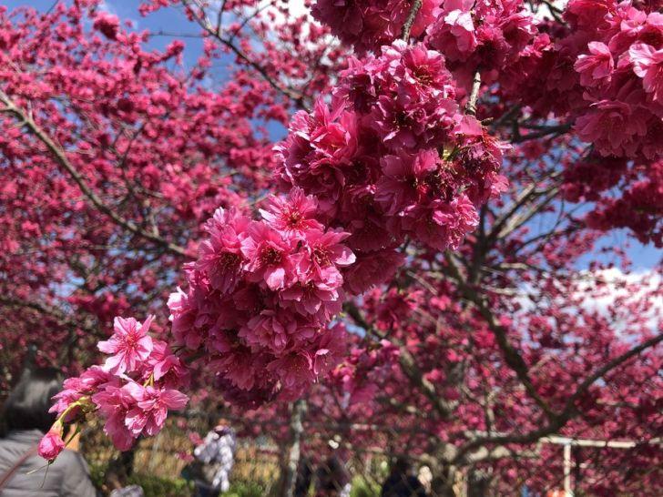 2021 02 16 151550 - 新社櫻花|私人櫻花園盛開超茂密,不收門票免費參觀,可近距離賞櫻花唷!