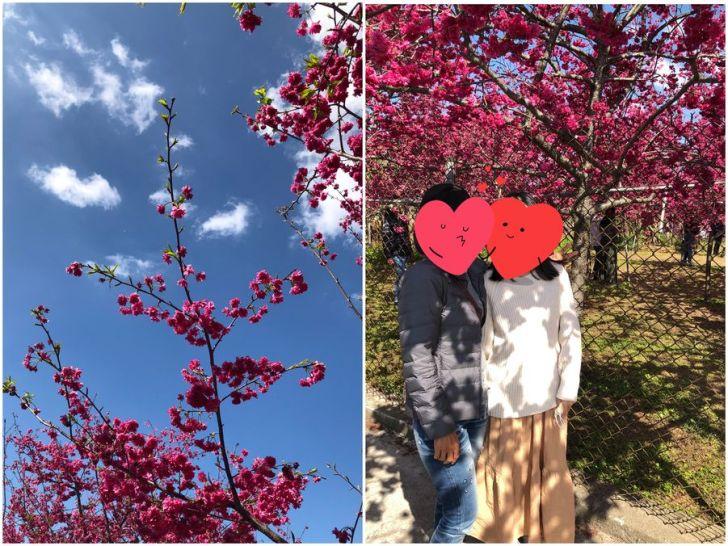 2021 02 16 151617 - 新社櫻花|私人櫻花園盛開超茂密,不收門票免費參觀,可近距離賞櫻花唷!