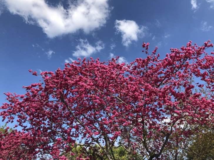 2021 02 16 151739 - 新社櫻花|私人櫻花園盛開超茂密,不收門票免費參觀,可近距離賞櫻花唷!