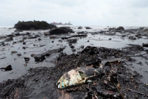 Dead fish covered in oil from an oil spill in northern Taiwan March 25, 2016