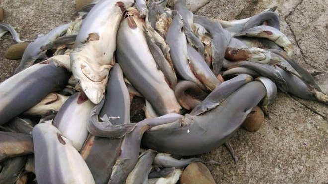 Dead sharks in Hsinchu after having their fins cut off.