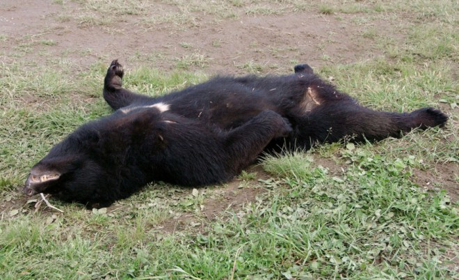 The body of an Asiatic black bear after it was shot by hunters