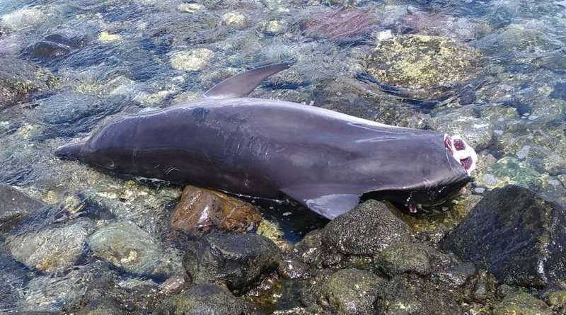 bottle nosed dolphin with tail hacked off