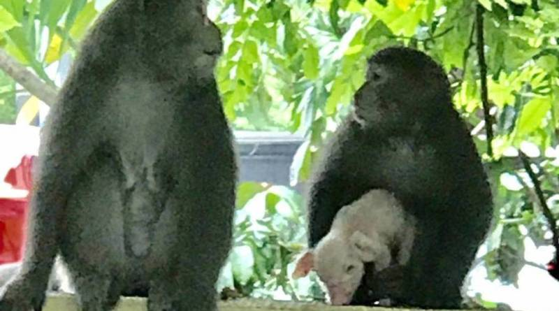 formosan macaque with kidnapped piglet