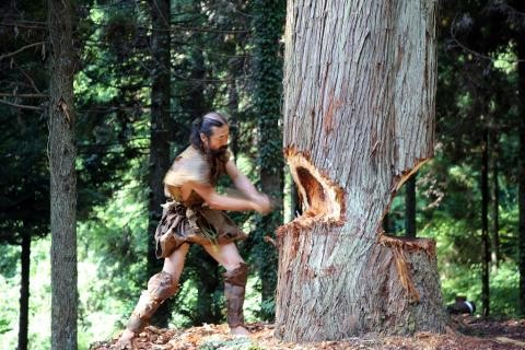 A Japanese anthropologist cuts down a cedar tree using a stone axe