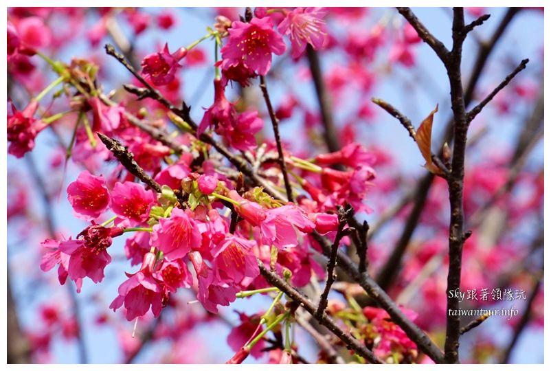 台北景點推薦大同山櫻花林03822