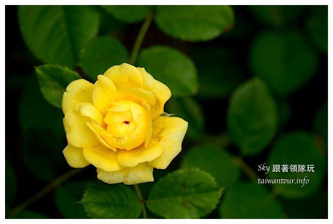 蘿莎玫瑰莊園01194