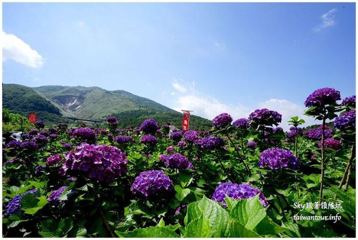 陽明山竹子湖繡球花大賞園DSC02726