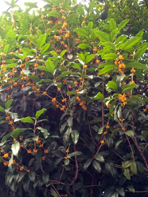 fragrant_orange-colored_olive