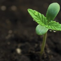 Polacy, rozsiewajmy konopie, naszą świętą słowiańską roślinę, gdzie się tylko da...