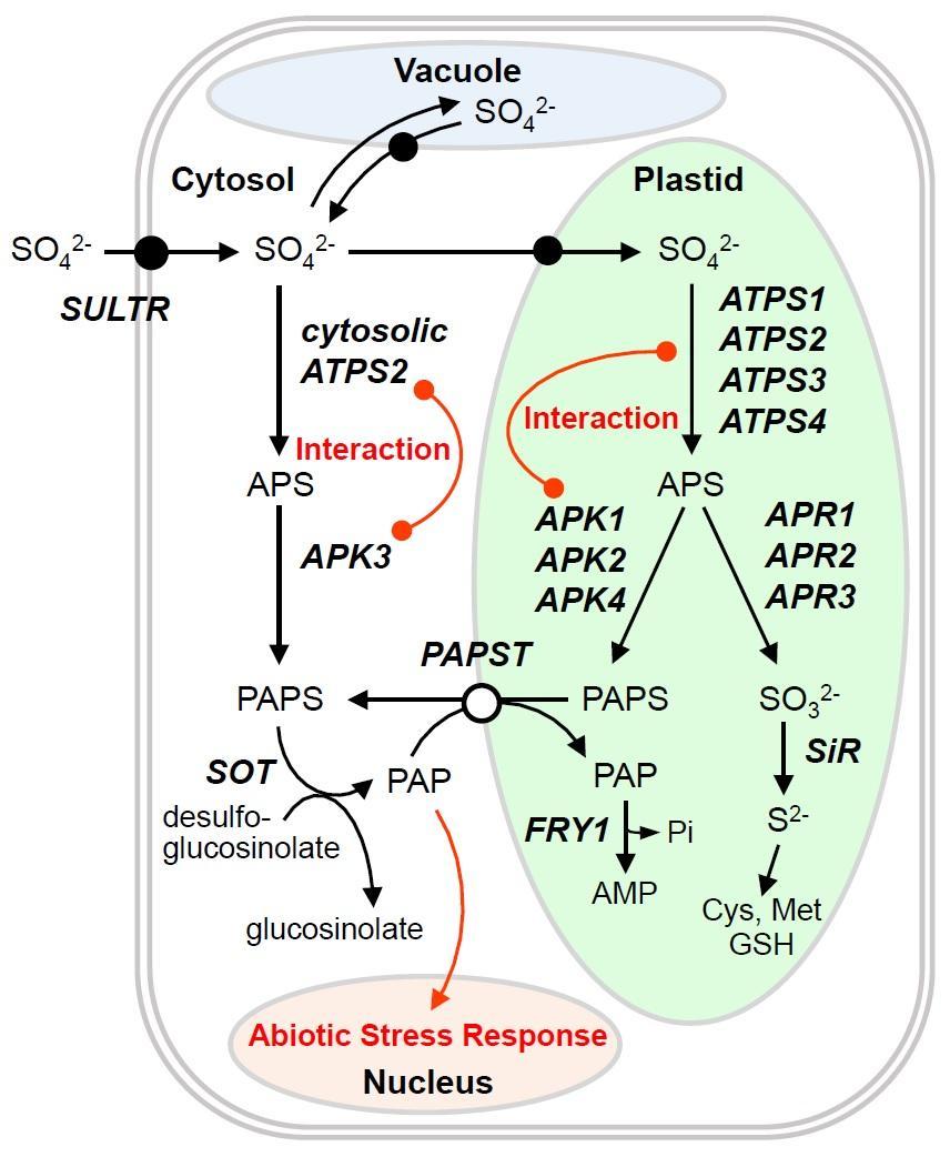 medium resolution of sulfur metabolism