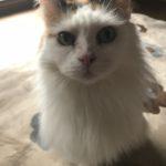 ノルウェージャンフォレストキャットの愛猫を紹介します。