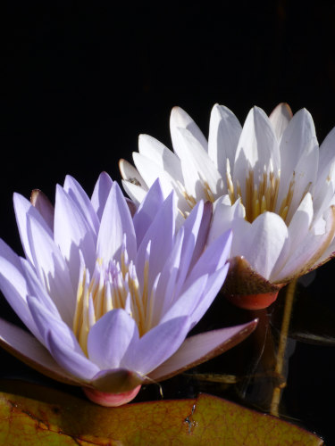 ボツワナモコロトリップ花 (1)