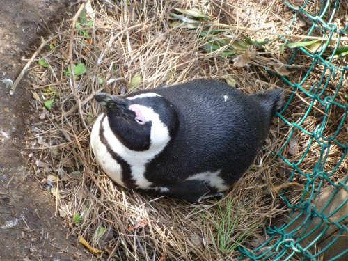 南アフリカのケープペンギン (7)