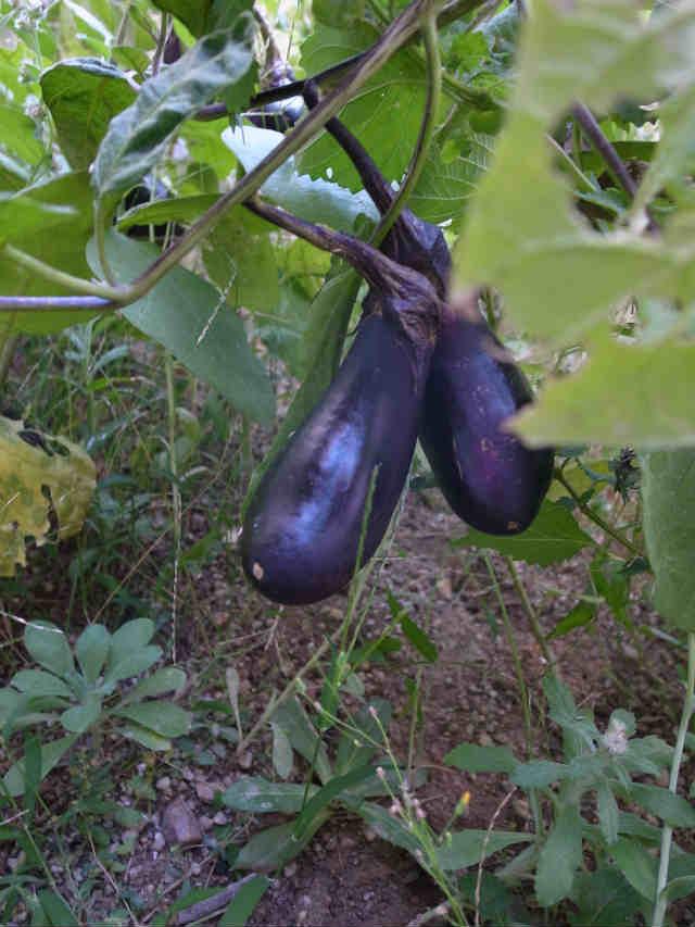 家庭菜園茄子枝豆 (2)