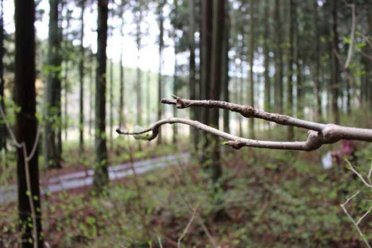 [山菜取り]タラの芽より「コシアブラ」のてんぷらの方がおいしい!愛知県では「灯台の芽」と呼ばれているよ (4)