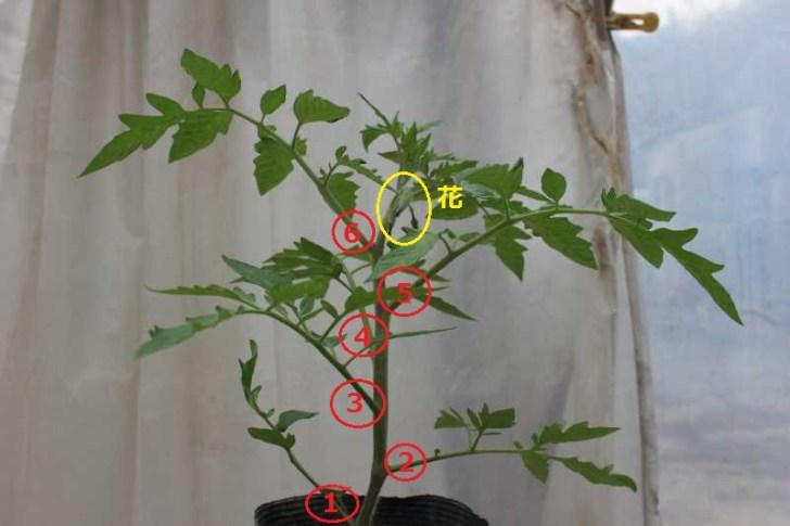 [桃太郎トマトの育て方]接ぎ木苗の植え方 (4)