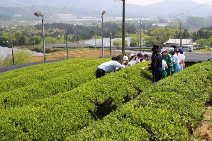 有機栽培されたお茶を手摘みしてきたよ!【愛知県新城市鈴木製茶】 (2)