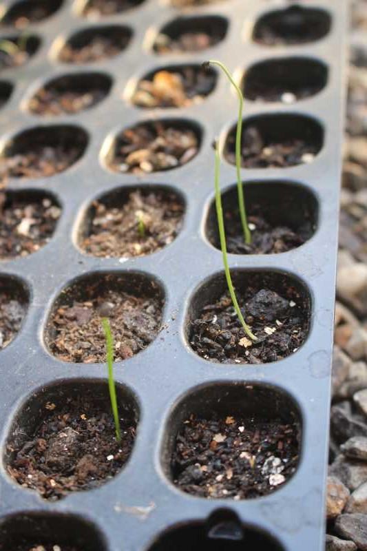 【珍しい野菜栽培】7.順調に育っている野菜があれば、発芽しない野菜も・・・ (1)