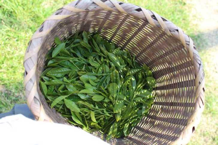 有機栽培されたお茶を手摘みしてきたよ!【愛知県新城市鈴木製茶】 (7)
