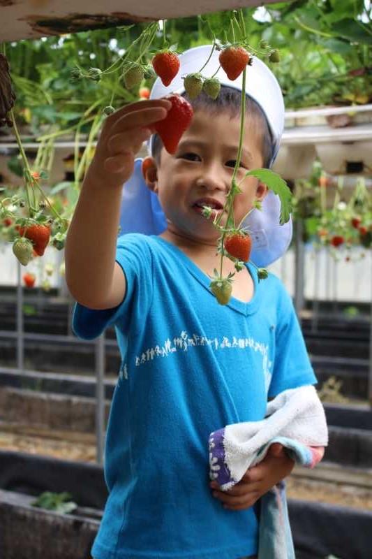 園児のイチゴ狩り体験のお手伝い【愛知県新城設楽4Hクラブ】 (8)