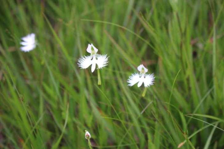 「サギソウ」がドラクエのラーミアみたいな花でめちゃくちゃかっこいい! (6)