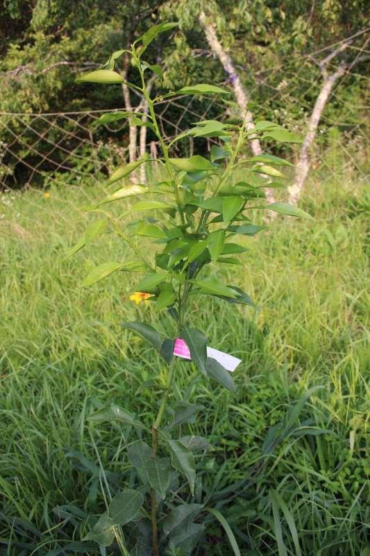 【珍しい果物栽培】2.花粉症対策の食べ物「ジャバラ」の苗が育ってきたよ! (3)