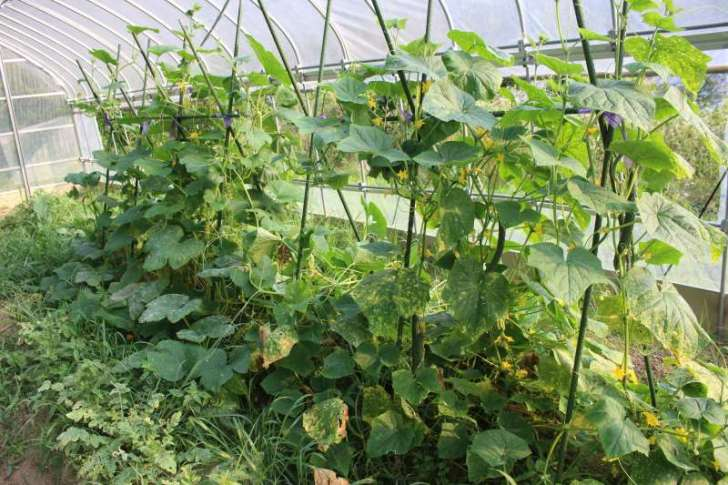 【珍しい野菜栽培】13.四葉きゅうり祭りの開催と黒トマトがいい感じ!パクチーの花が咲いたよ! (1)