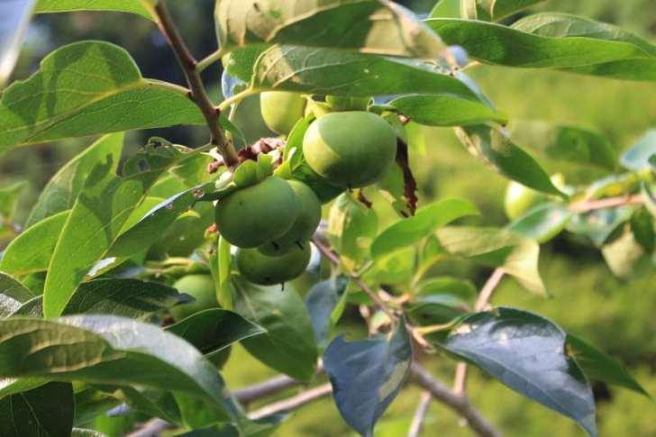【珍しい果物栽培】2.花粉症対策の食べ物「ジャバラ」の苗が育ってきたよ! (1)