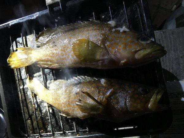 今年も福井で魚突き!キジハタとスズキとカサゴ他いろいろ獲ったど~!!! (5)