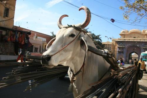 Holy Cow in Jaipur (On l avait zappe celle la)