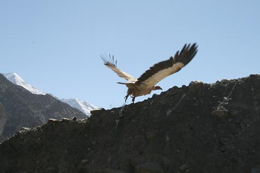 Giant vulture