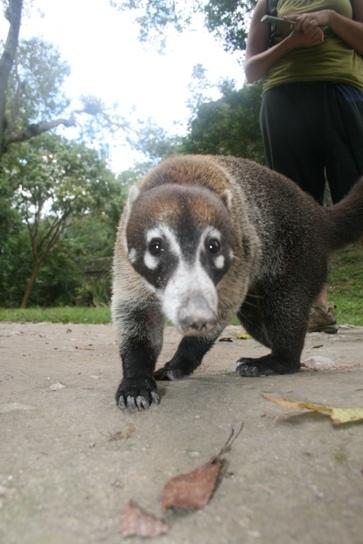 Strange badger in the ruins