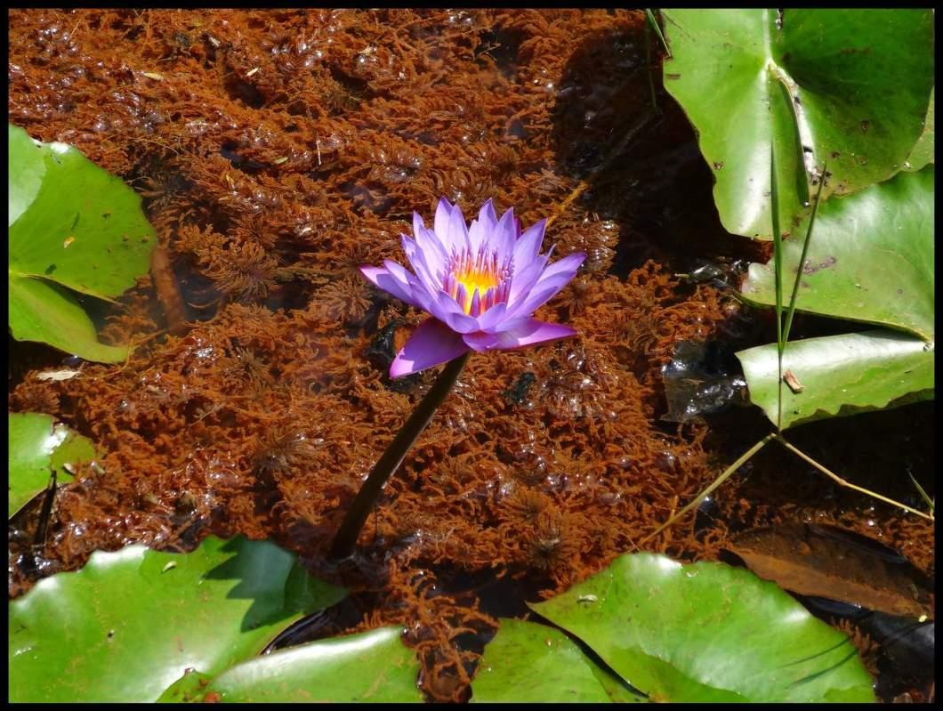 pookot lake flower